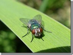 Green bottle fly (Lucilia ceasar) by Ute Karsch